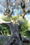 The Oldest of Our Olive Trees